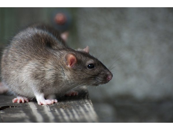Construction in Dearborn displaces rats, concerns residents