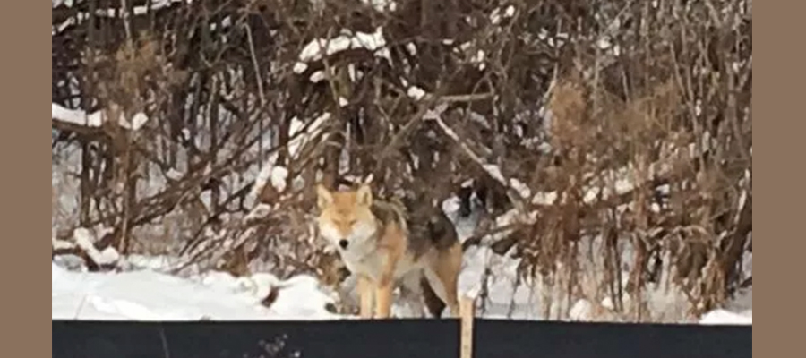 Coyote seen in residential area of Dearborn