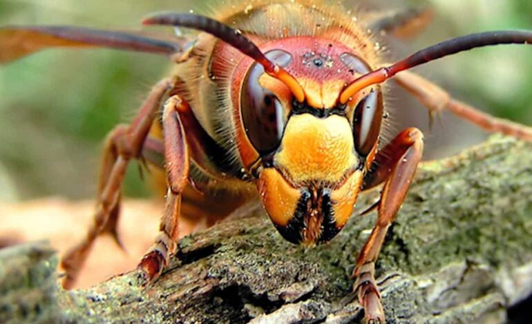 'Murder Hornets' won't be seen in Michigan for years