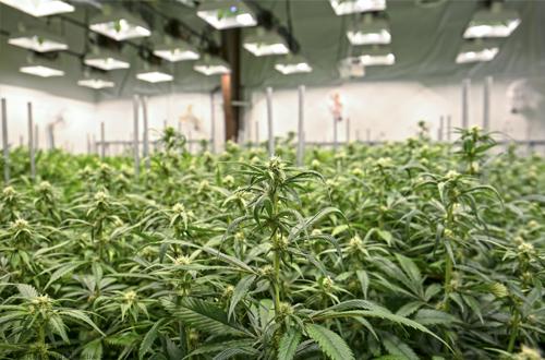 Dearborn Council tables ordinances on medical marijuana grow facilities; instates 90 day moratorium on new facilities